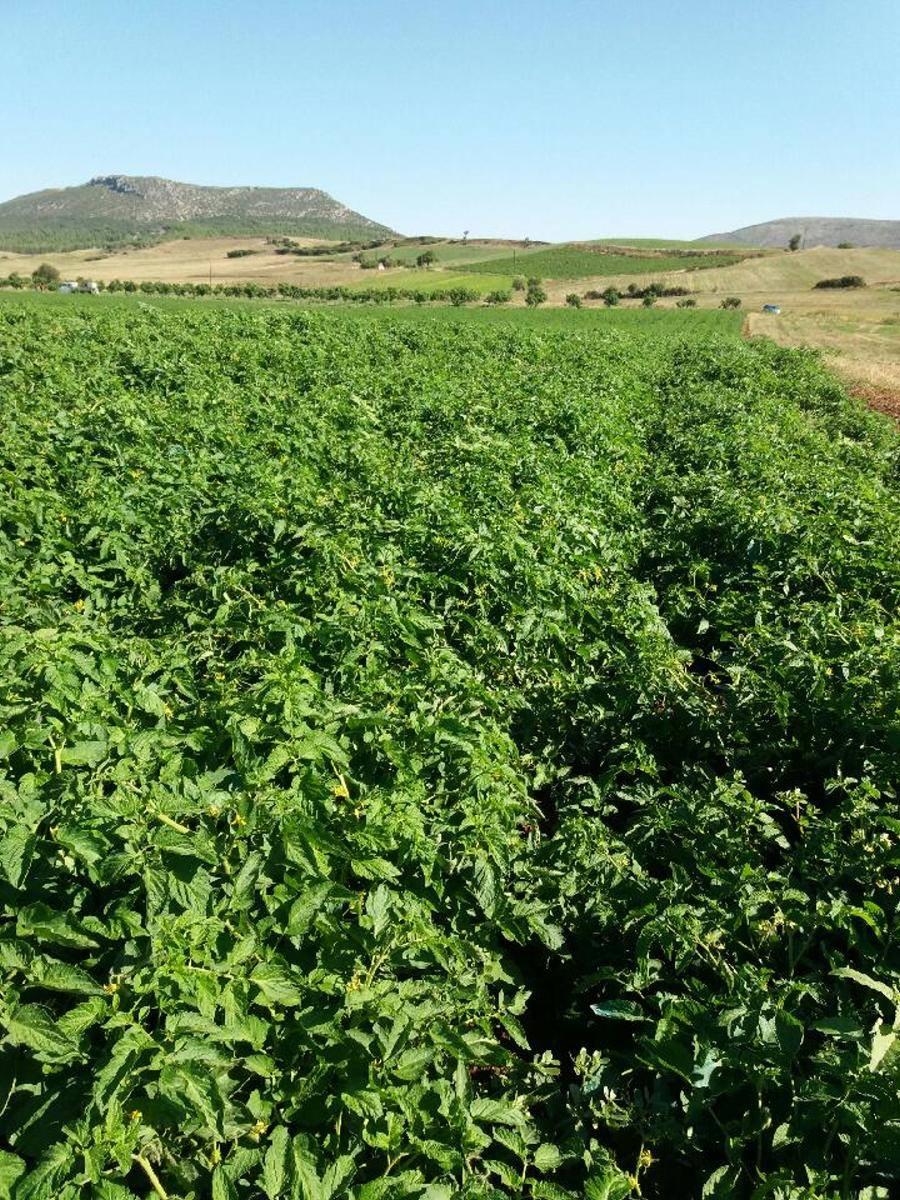 tomato farm.jpg