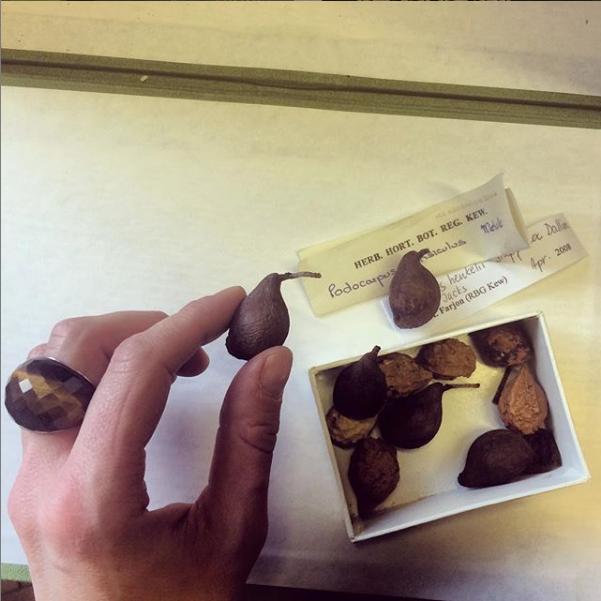 Found a box of birds in the Herbarium.  Podocarpus ensiculus & Podocarpus henkelii