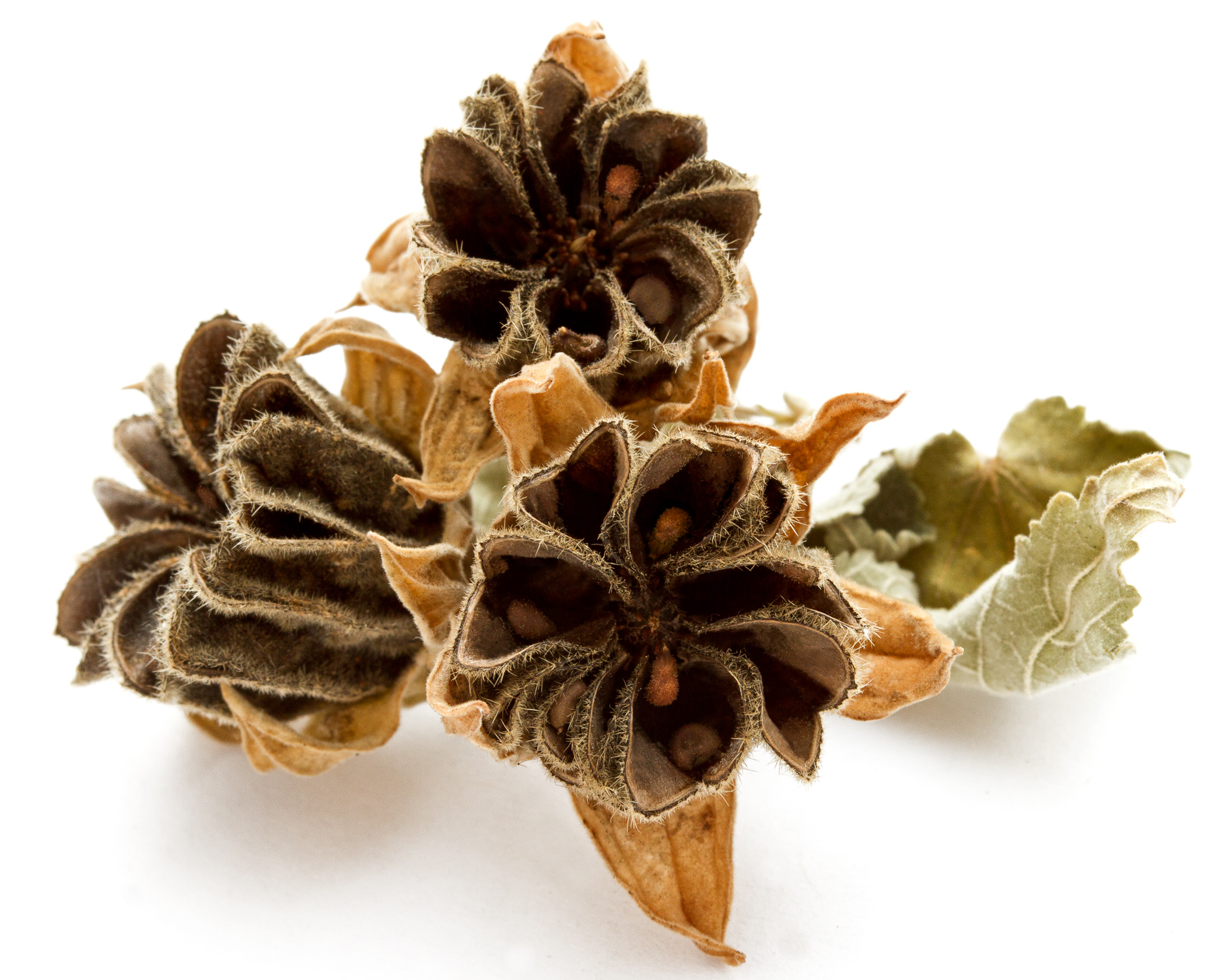 Abutilon grandifolium.jpg