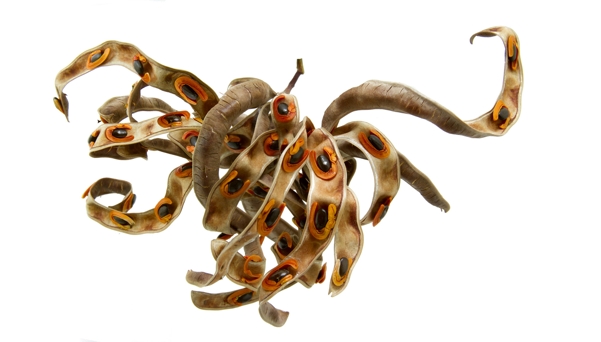 Acacia melanoxylon 3.jpg