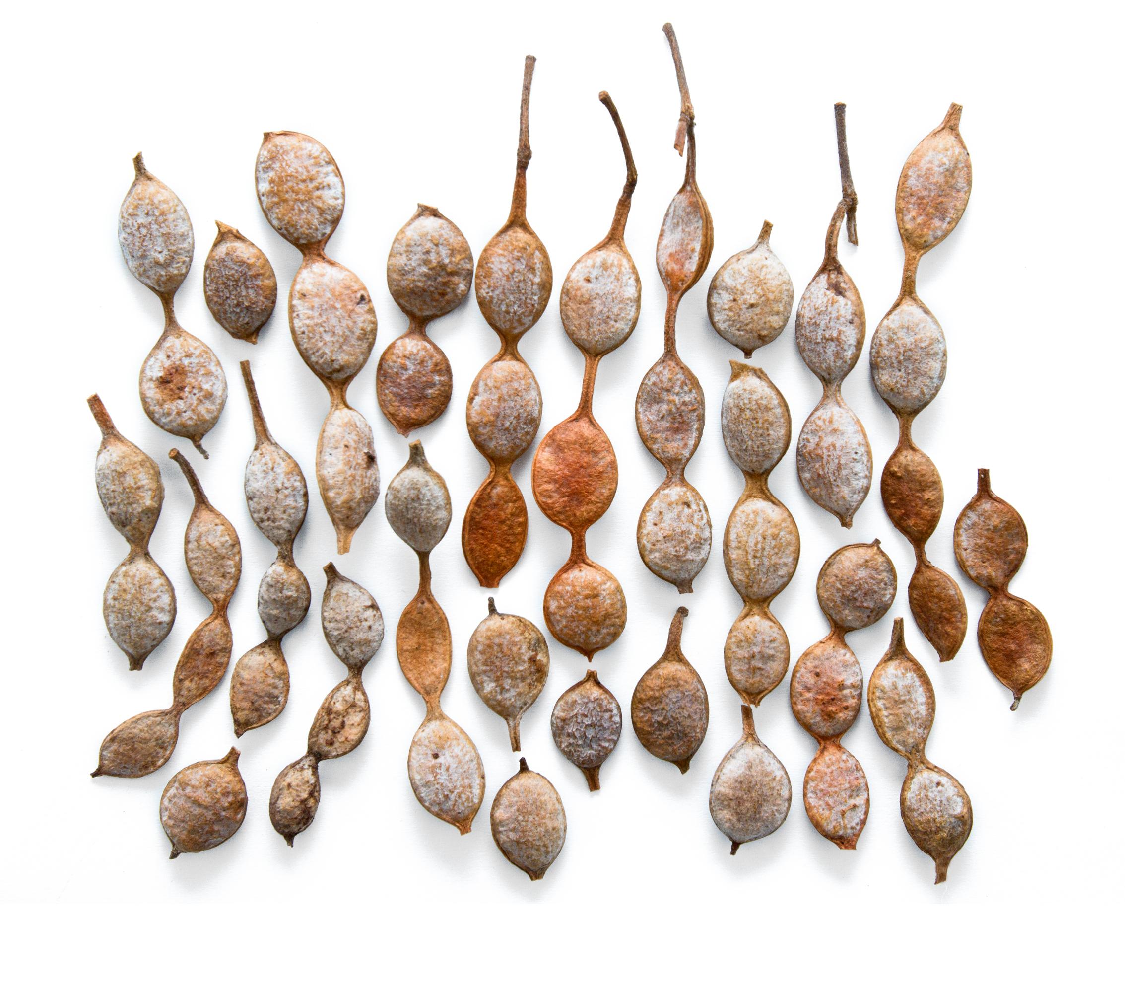 Acacia nilotica, syn. Vachellia nilotica