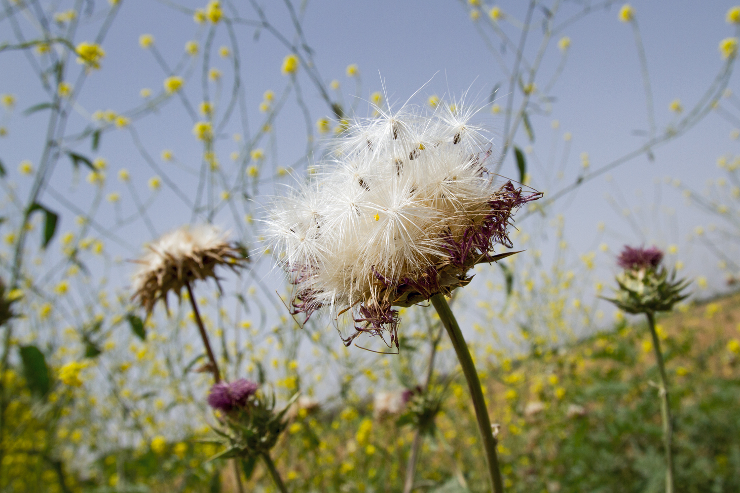 Since antiquity, herbalists have prescribed milk thistle ( Silybum marianum ). Modern Iraqi pharmacology research expands on traditional applications, identifying its seeds as a treatment for liver disease. Dr Ali Askari, a former professor at the College of Agriculture, predicts that it could be more profitable than wheat, a crop that is no longer generating revenue for the region.