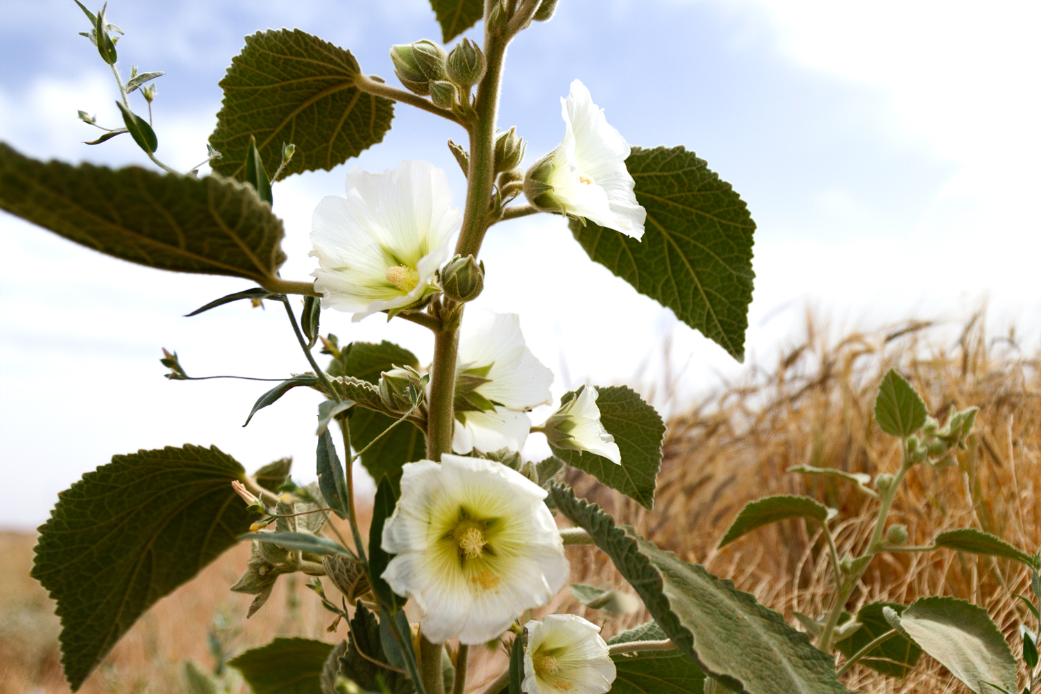 "A wild hollyhock near Jarmo, northern Iraq. Hollyhock are among the flowers found in Shanidar Cave, Iraq, a Neanderthal burial site dated 60-80,000 years ago. Referred to as a ""flower burial"", eight species of medicinal plants included yarrow, ragwort, woody horsetail were buried in one grave alone, suggesting that the man had been a traditional healer."