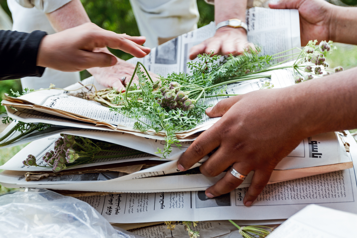 Volunteers and scientists press specimens collected in the mountains near Iran for a 'Flora of Iraq'. While training locals to identify native plants, botanists from Nature Iraq are meanwhile creating the first comprehensive documentation of local flora.