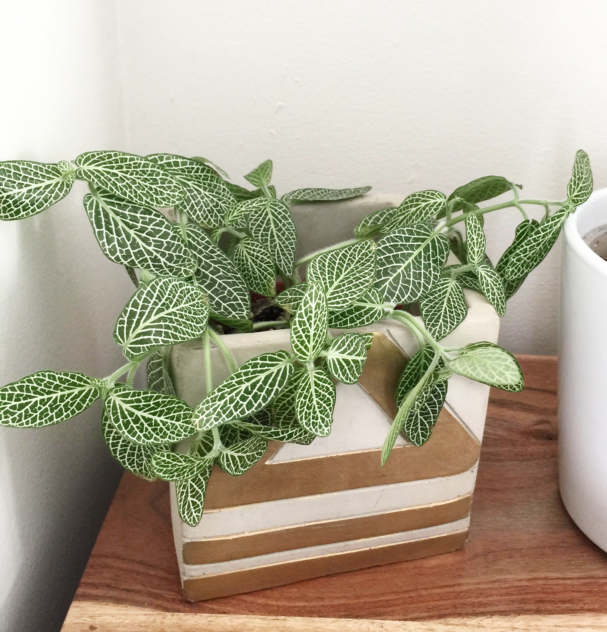 Thirsty Fittonia