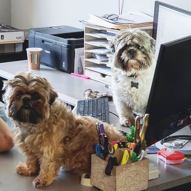 We have our best two pups answering customer support today!  #bringyourdogtowork #alpacalife #madeinusa #shihtzu #shihtzusupport #neafpco