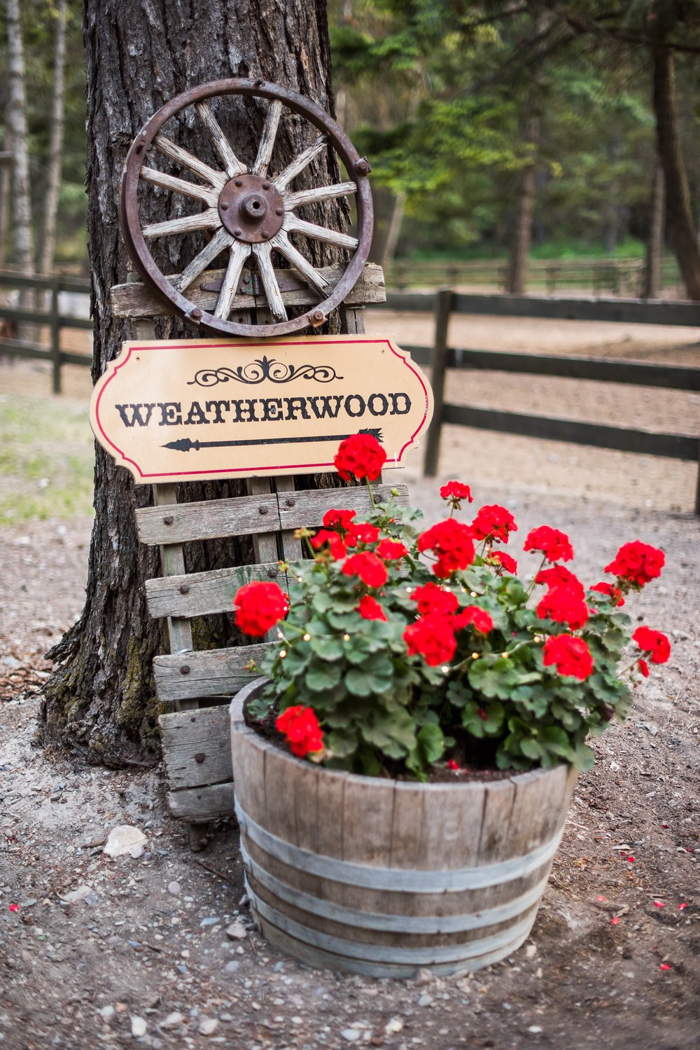 Weatherwood Homestead_Classic Red Geraniums