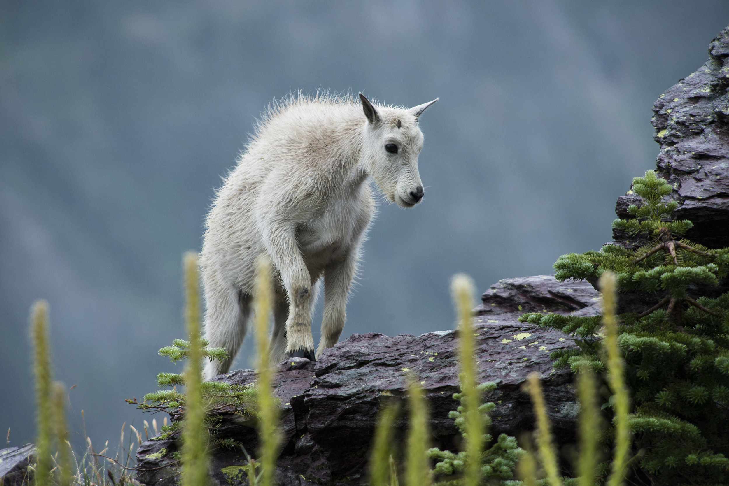 Mountain goats in Glacier National Park. Photo credit:  National Park Service