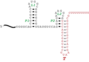 RNA-Binding Proteins - We study in particular an RNA-binding domain called ANTAR, which binds a two-hairpin element to prevent transcription termination.