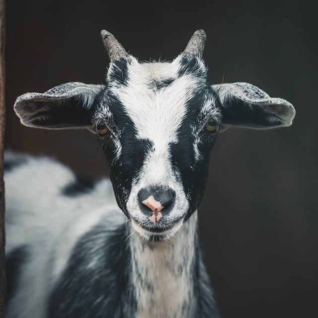 Goats for mitigation?! In our August E-News, we explore the popular trend of deploying goats on private property to reduce hazardous fuels. Read it now on our website or Facebook page and let us know what you think!  Photo by Peter Lloyd via Unsplash