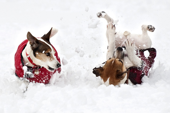 dogs_playing_snow.jpg