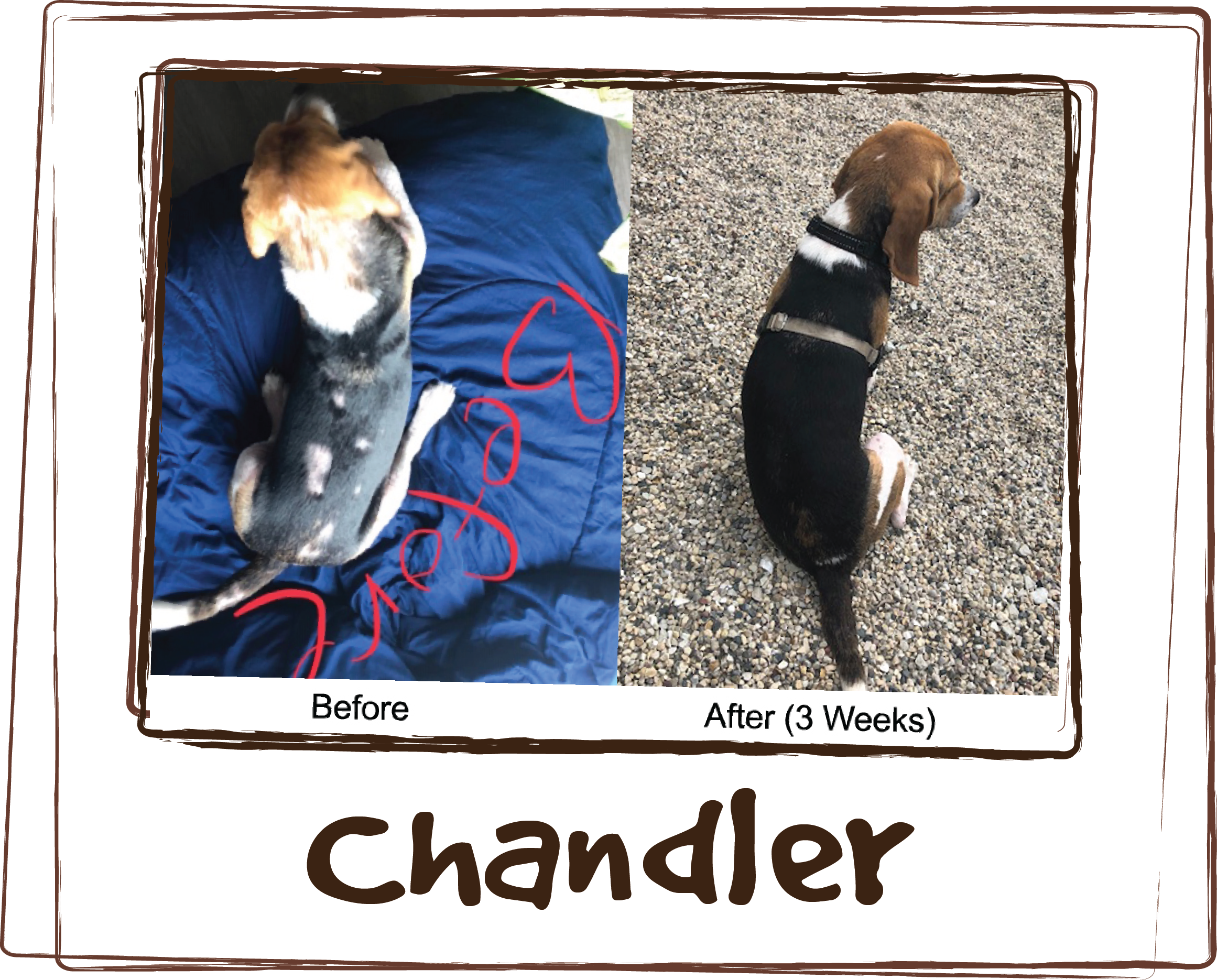 """""""When I first got Chandler from Alive Rescue, he had major skin issues. Bald spots all over his back, his chest was completely bare, like someone shaved him, and the fur was gone on a portion of his leg. The vet I went to gave me 2 different prescription meds to give to him but after hearing how Rx meds hadn't worked for him in the past, I decided to try something different. I met Amy randomly while eating lunch on a patio in the west loop. She told me about Licks and recommended this product. Within a week of me giving it to him I could see a noticeable improvement in his behavior - he didn't rub or scratch as much. And within 3-4 weeks, his fur grew back completely on his back and he now has fur on his neck and his legs. His coat has grown in so beautifully, he looks like a completely different dog! The sad but also happy part of this story was he was put on the kill list at a local shelter because of his allergies/skin. Because Alive Rescue saved him and because I started him on the Licks supplement and a good nutrition routine, Chandler's skin issues are gone and he is now in a happy home, living his best beagle life! Thank you Licks!!"""""""