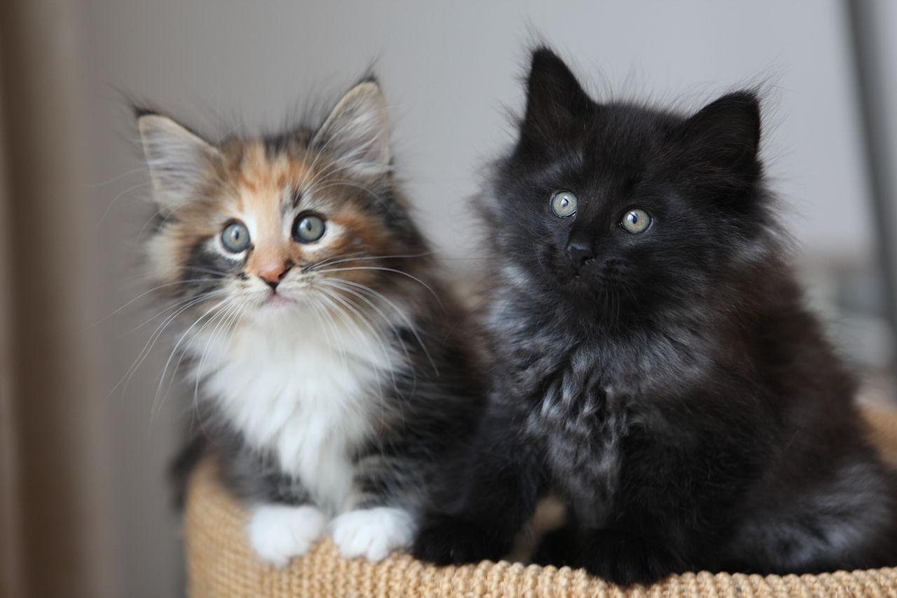 1280px-2_Kittens.jpg