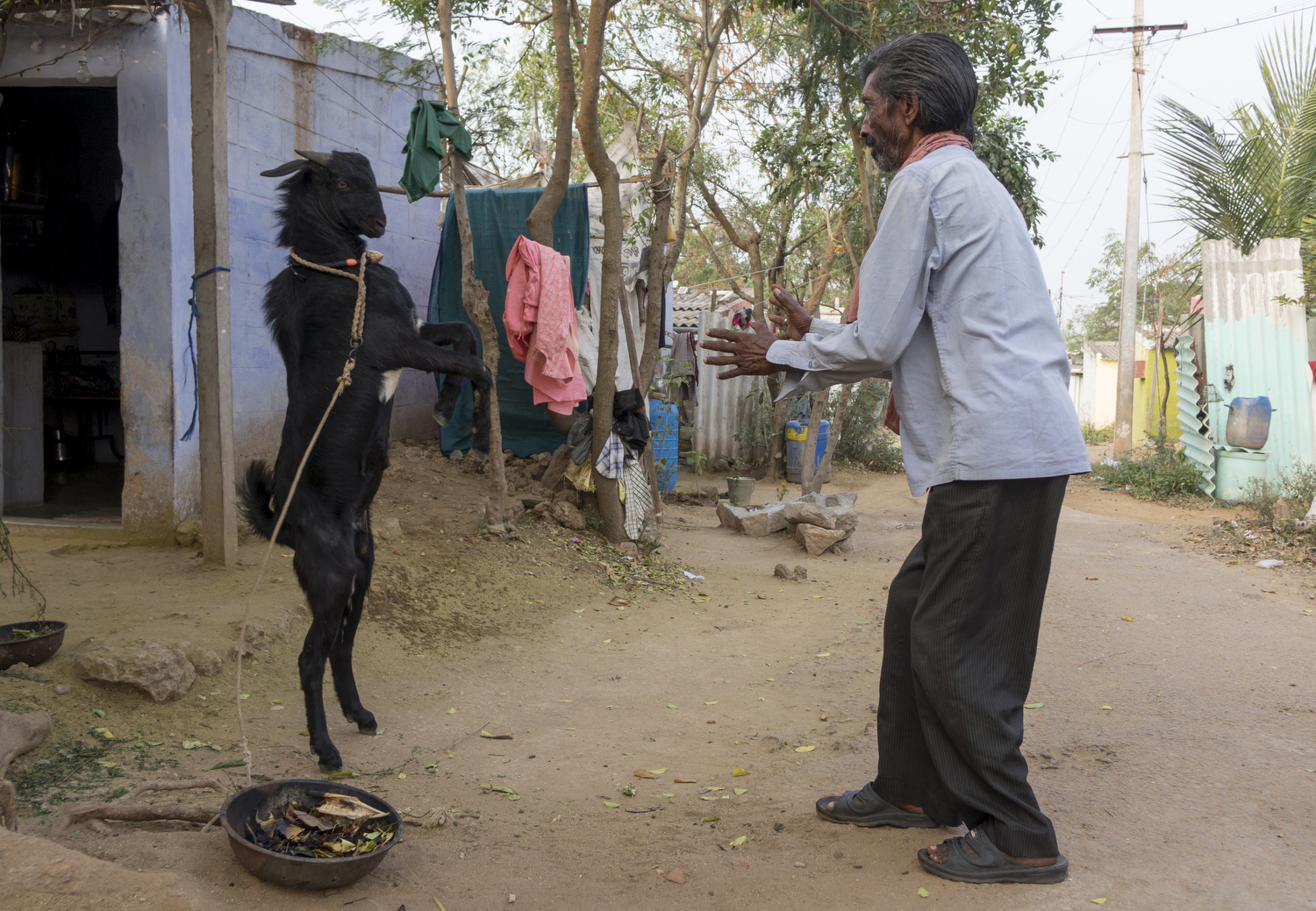 Charles Finny. T - A man from Kalaignar Nagar plays with his pet goat in the early hours on a Saturday morning. While they were playing, the goat became defensive and tried to protect itself by jumping in the air at the man.