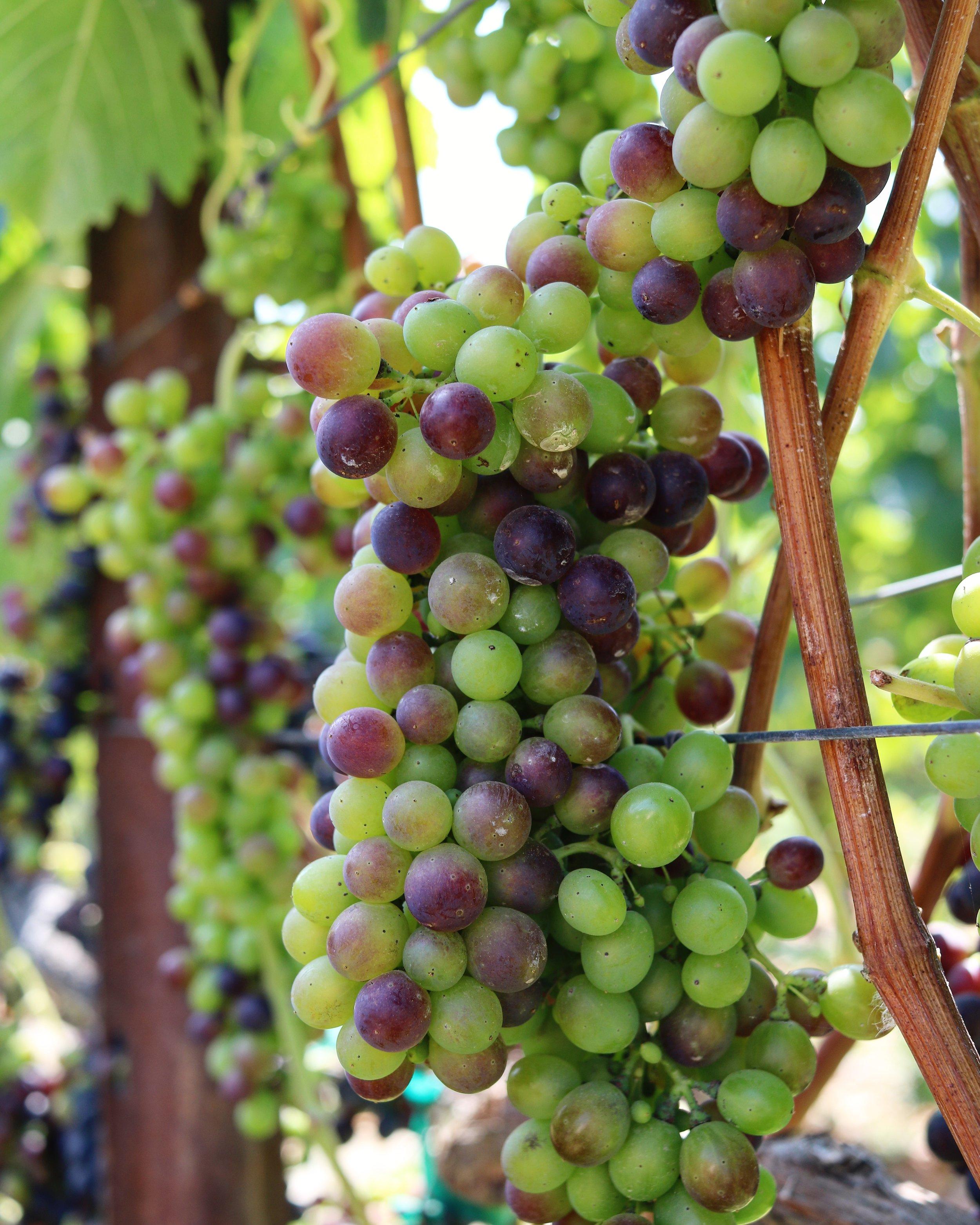 Syrah Grapes Melville.jpg