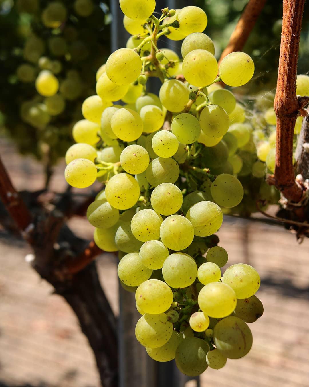 Gruner Grapes- Spear.jpg