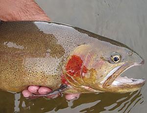 beautiful-ranbow-trout.jpg
