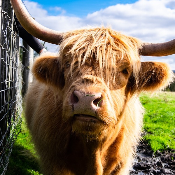 "Thanks to Scotland I now know a new/proper pronunciation of ""cow"". I nearly jumped the fence to hang with these hairy ""cooos"".. then considered the fact I don't know anything about their temperament and they aren't messing around with those horns. 🤪"
