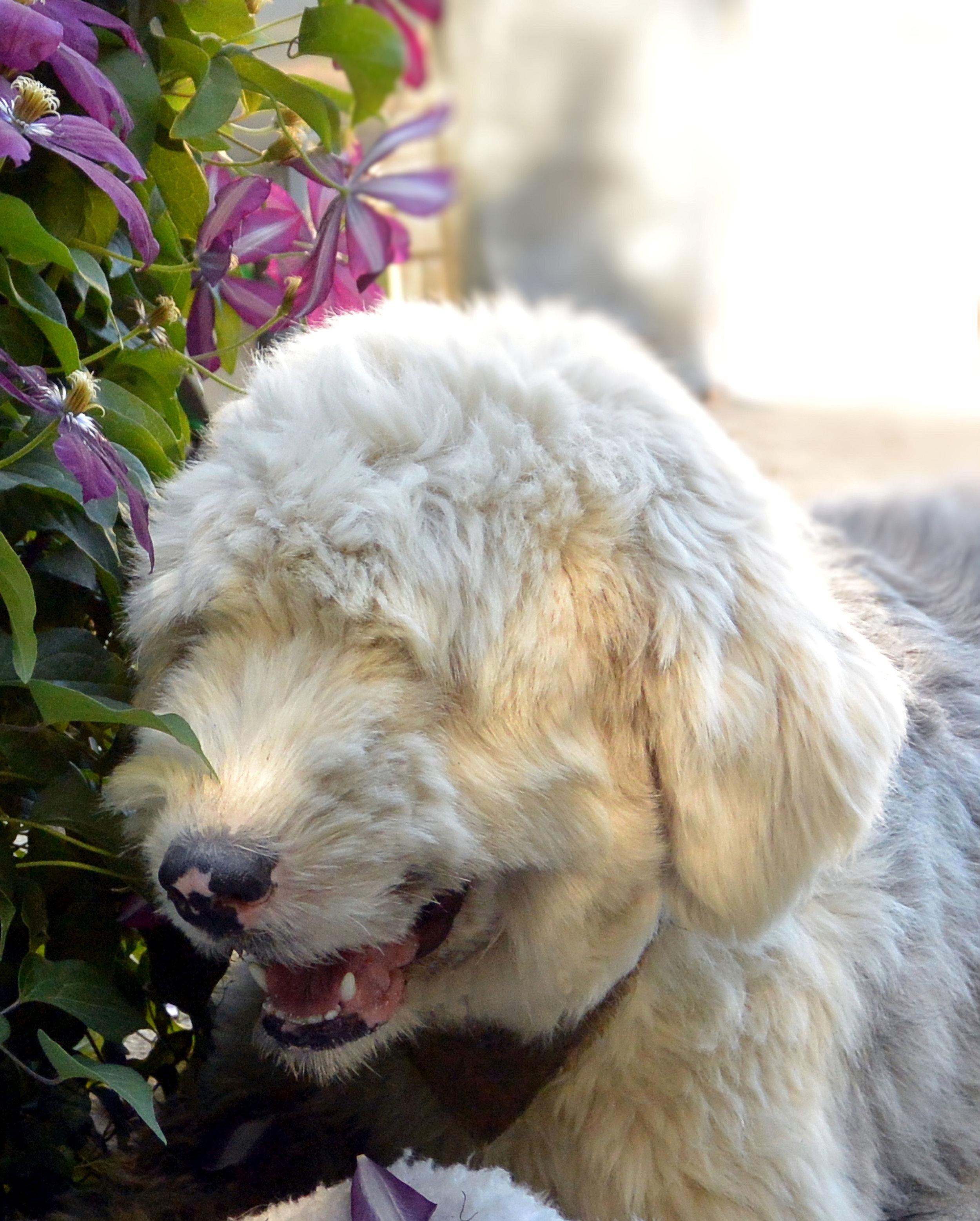 White_Old_English_Sheepdog_Pearl.JPG
