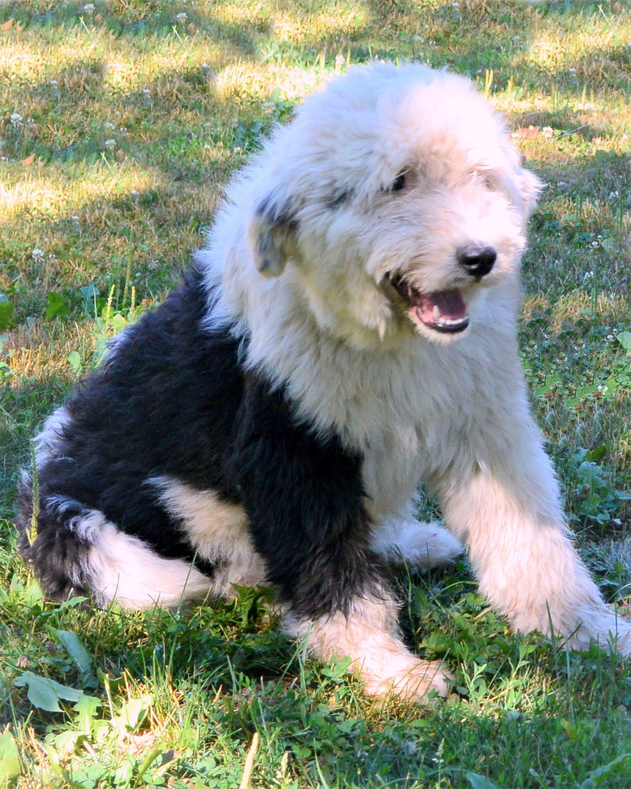 Black_and_White_Old_English_Sheepdog_Maggie.JPG