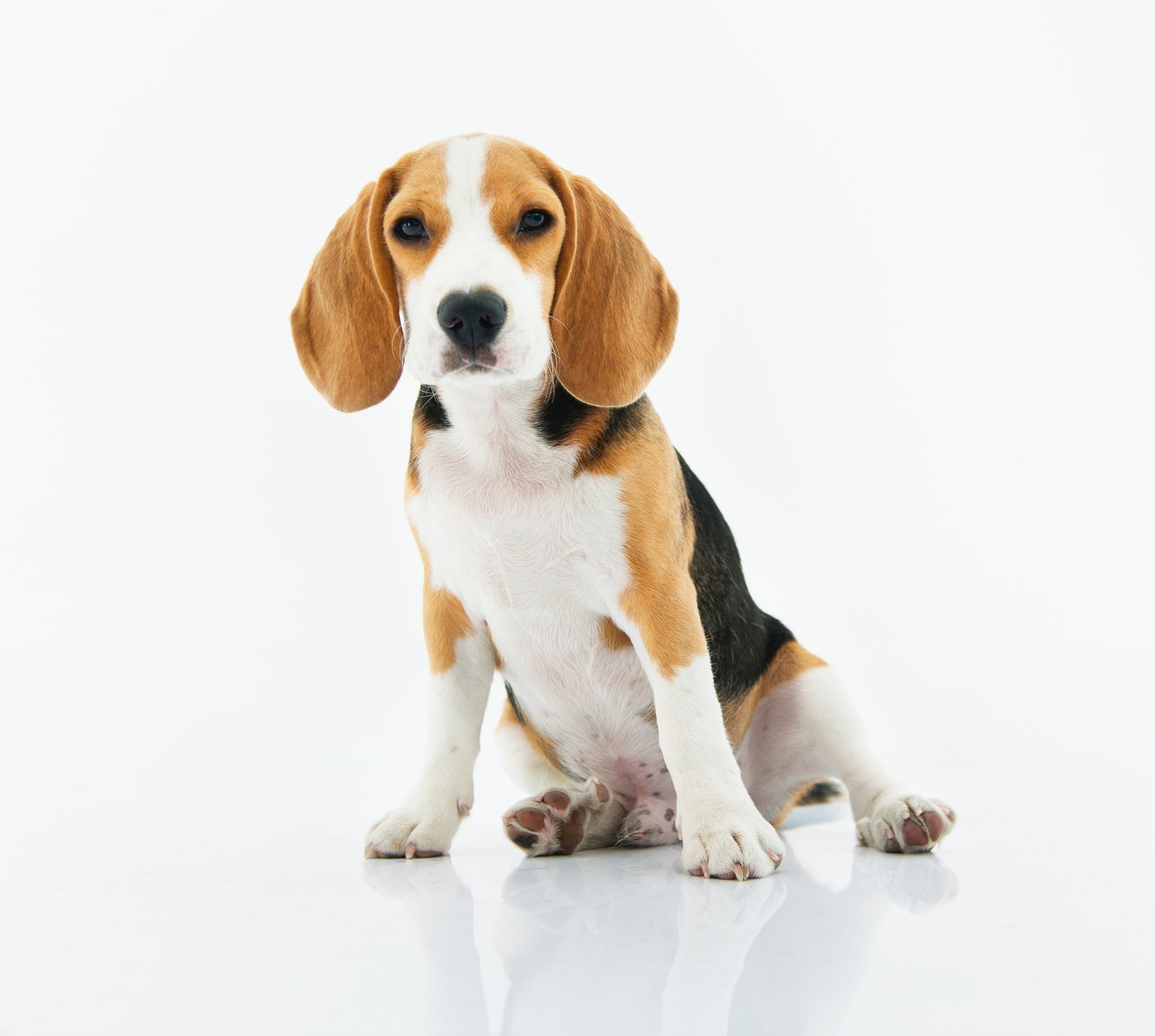 adorable-animal-beagle-1345191.jpg