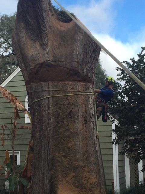Protected Live Oak Tree Removal