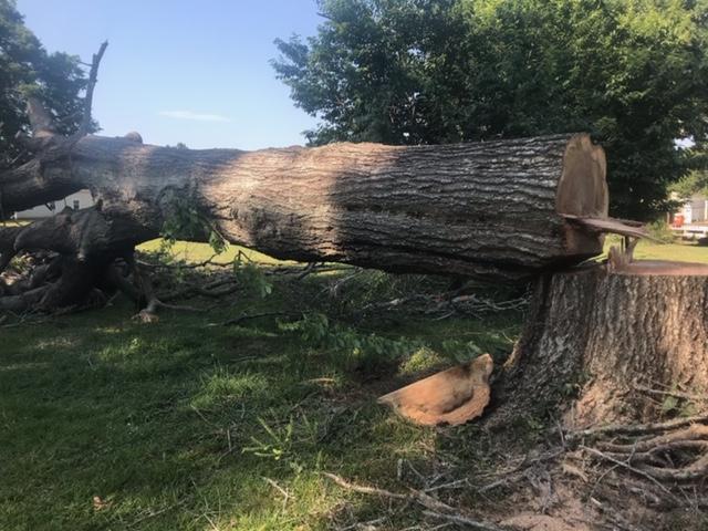 Large Felled Oak Tree