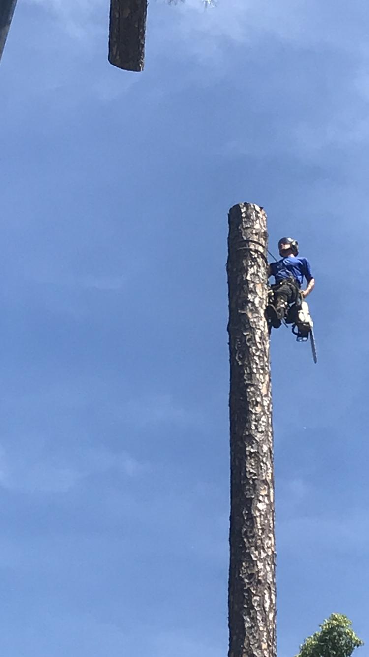Arborist Pine Tree Removal with Crane