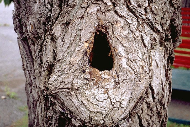 tree cavity.jpg