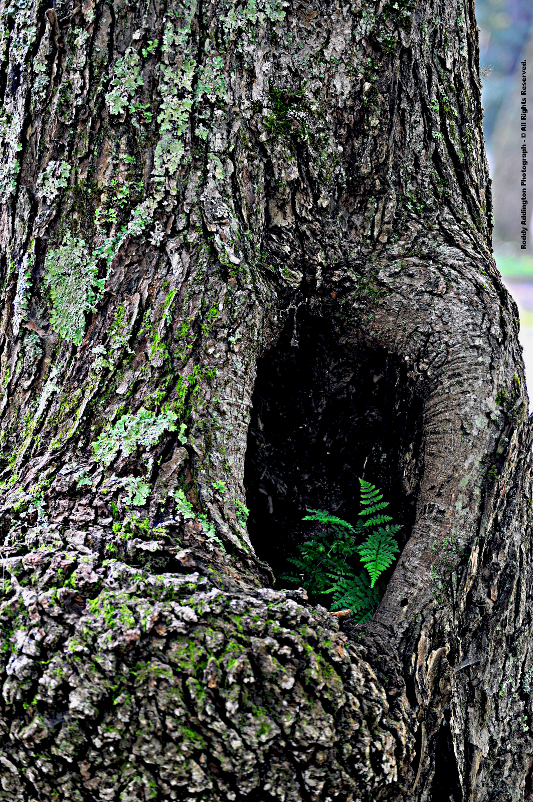 tree cavity 3.png