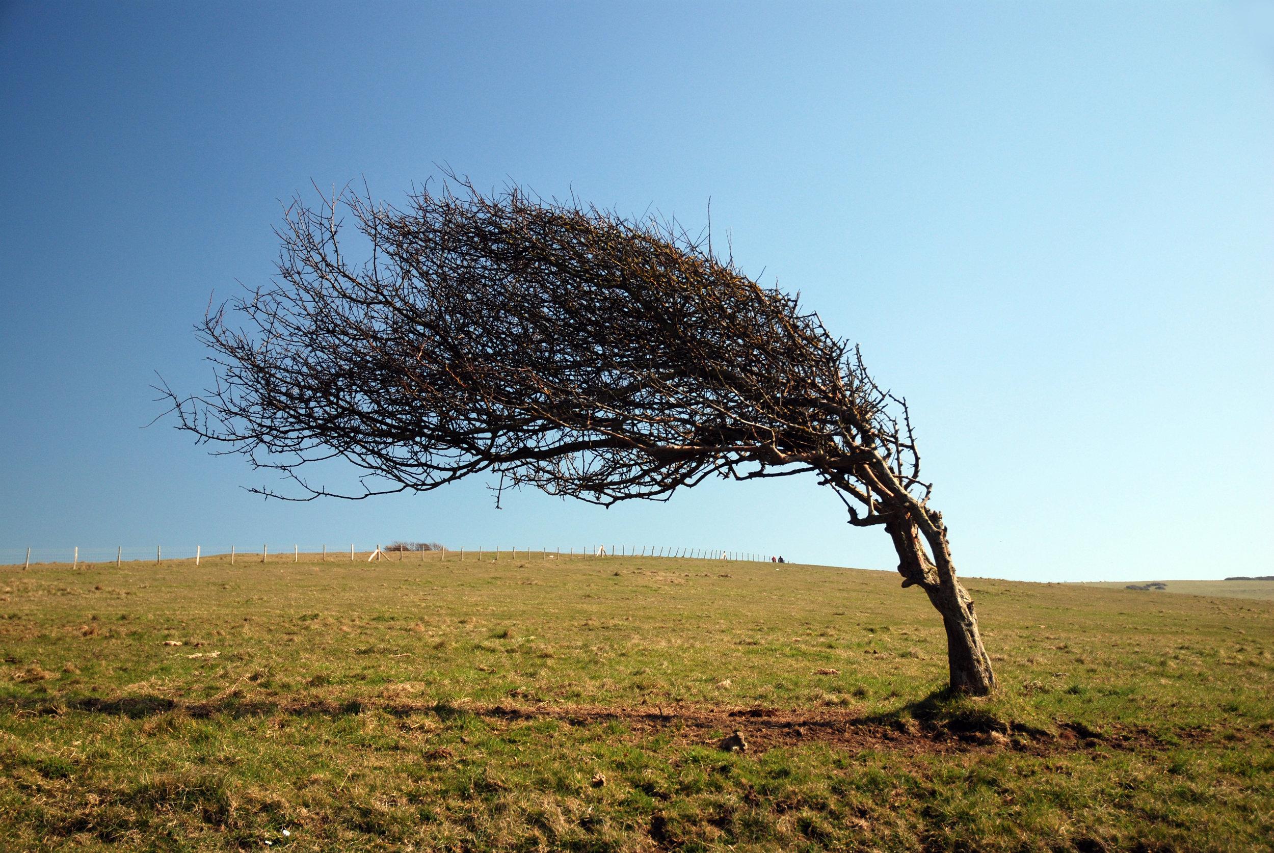wind blown tree.jpg