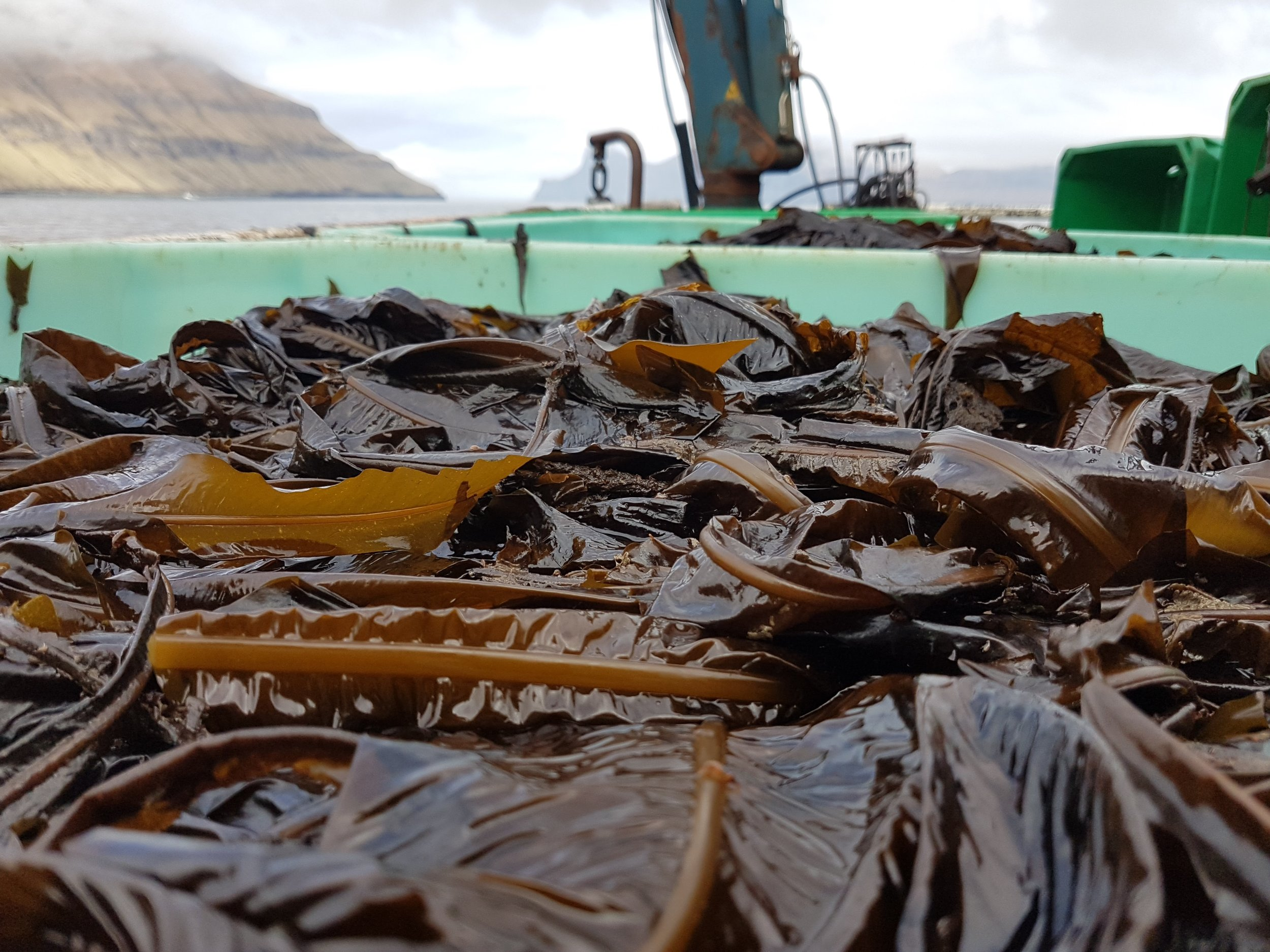 Alaria esculenta - (Winged seaweed/Wakame/Tang )– frozen, dried or ensilaged