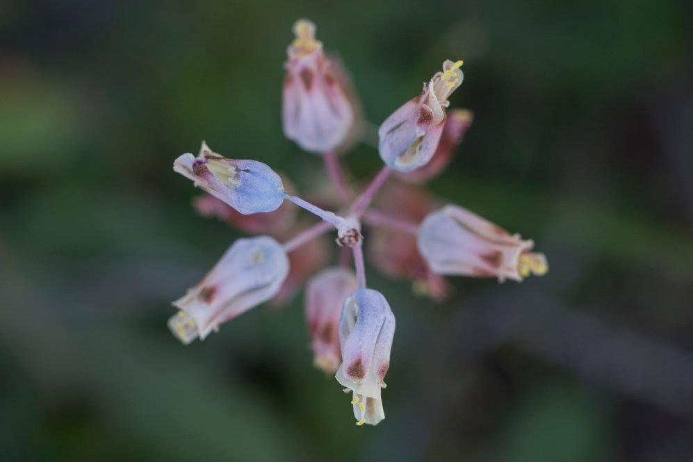 Lachenalia unifolia
