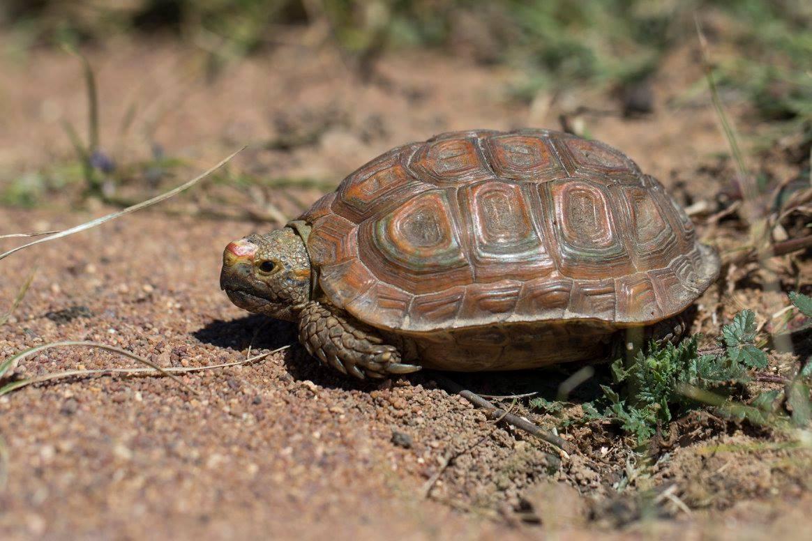 Parrot Beak Tortoise