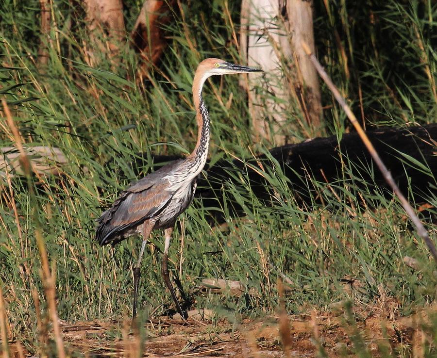 Goliath-Heron-Berg-River.jpg