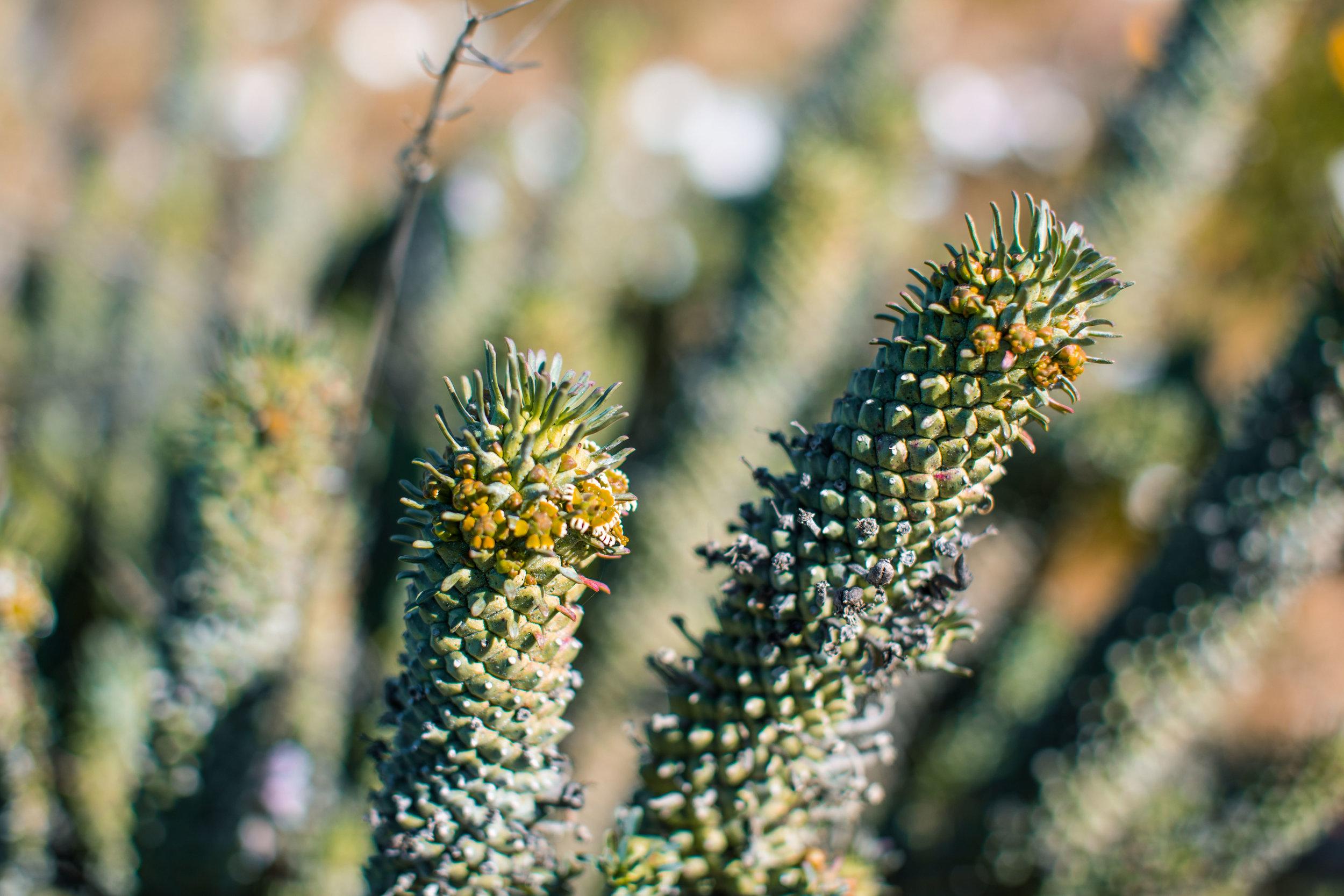 Euphorbia Caput-Medusa
