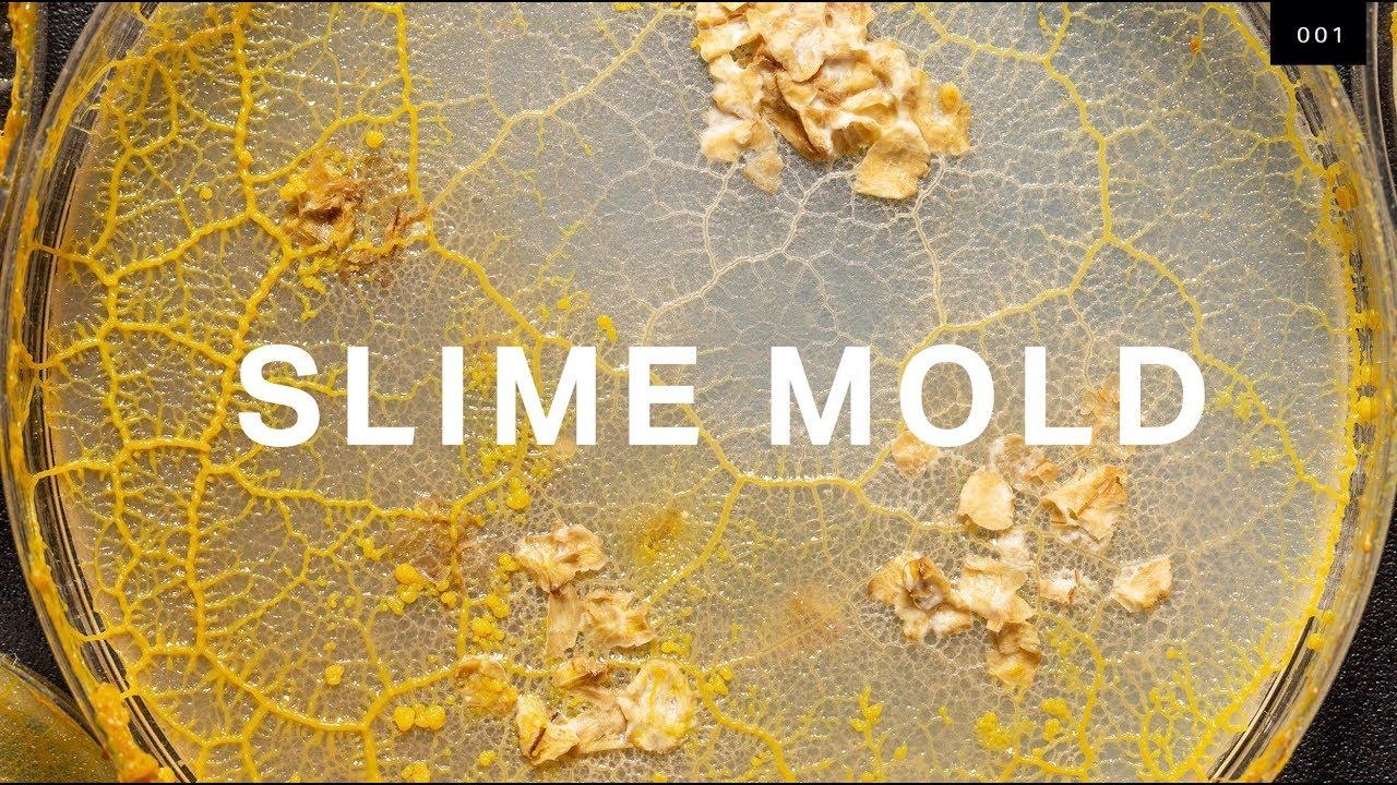 Slime Mold (DP)