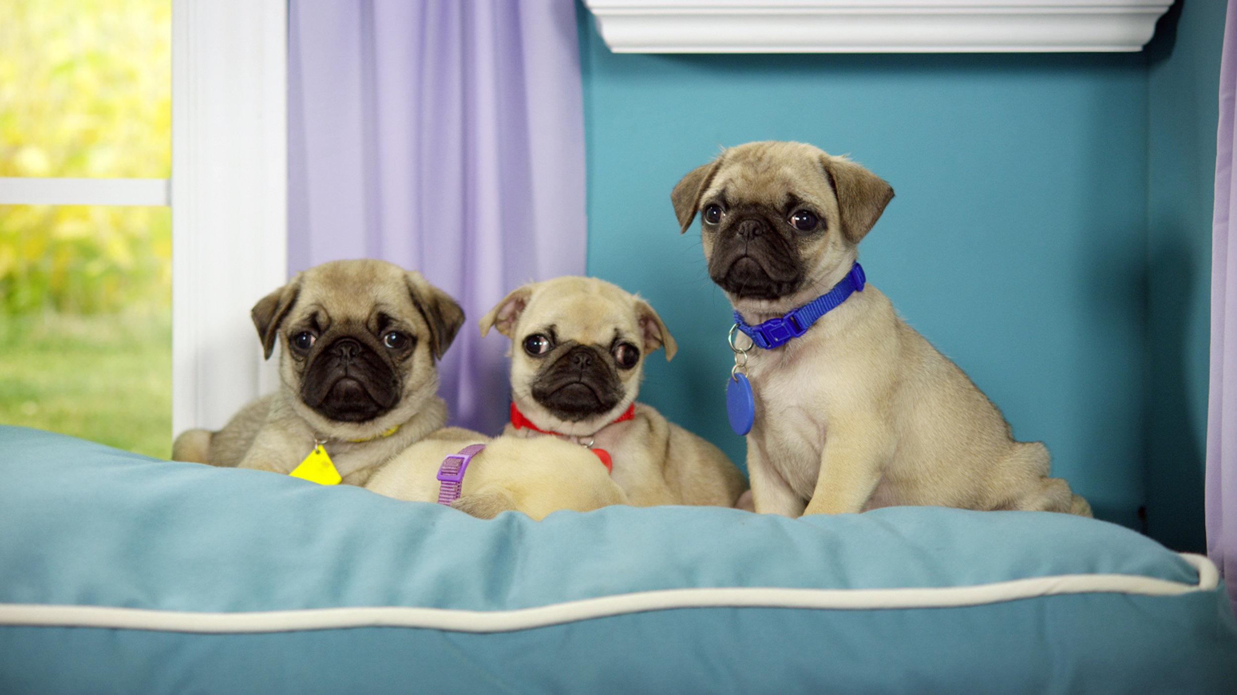 17_Cutie Pugs in Bed.jpg