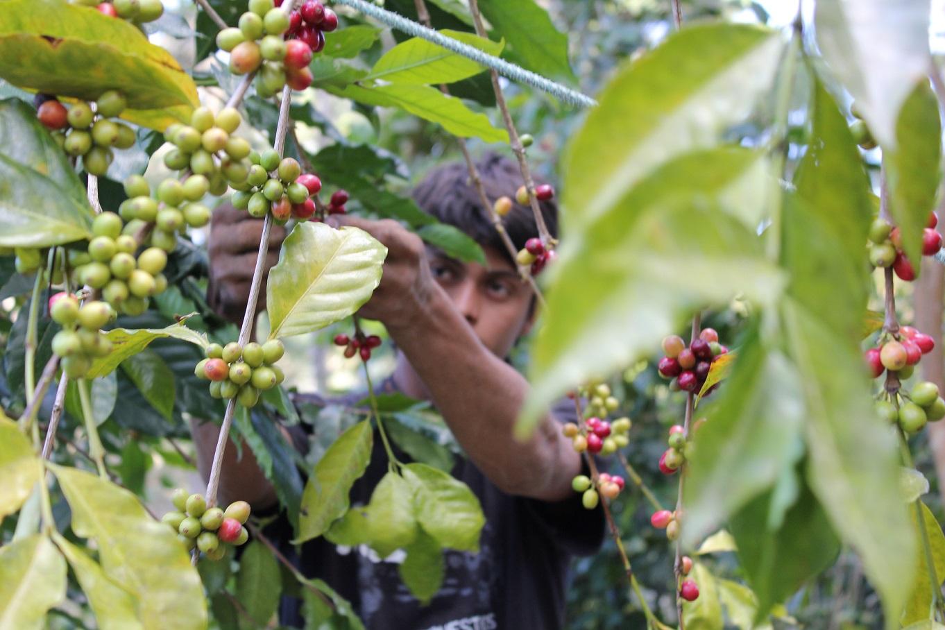 Coffee Picker in Honduras  Mark F..jpg