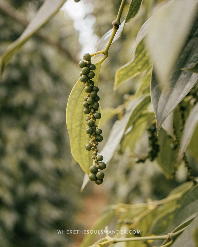 The pepper plantation in Kampot is well known by the world.