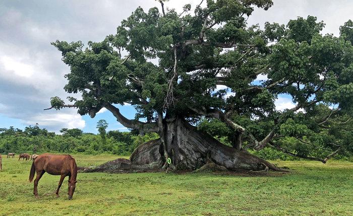 The Ceiba Tree Vieques, Puerto Rico