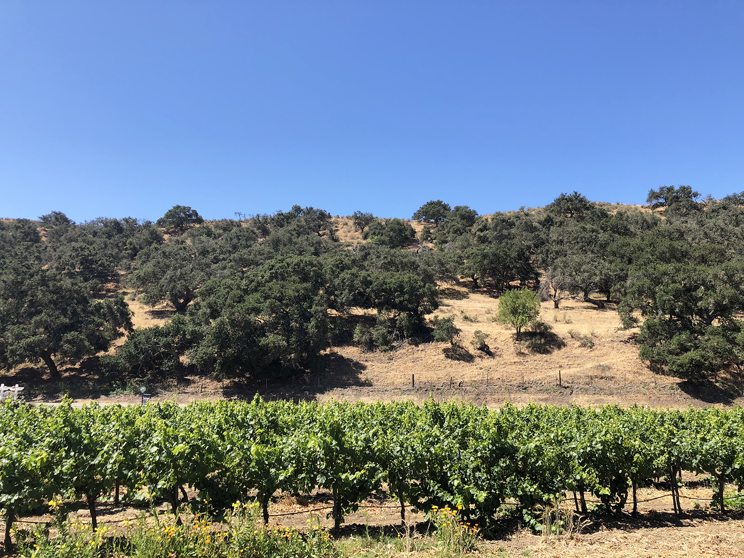 Santa Ynez Vineyard view