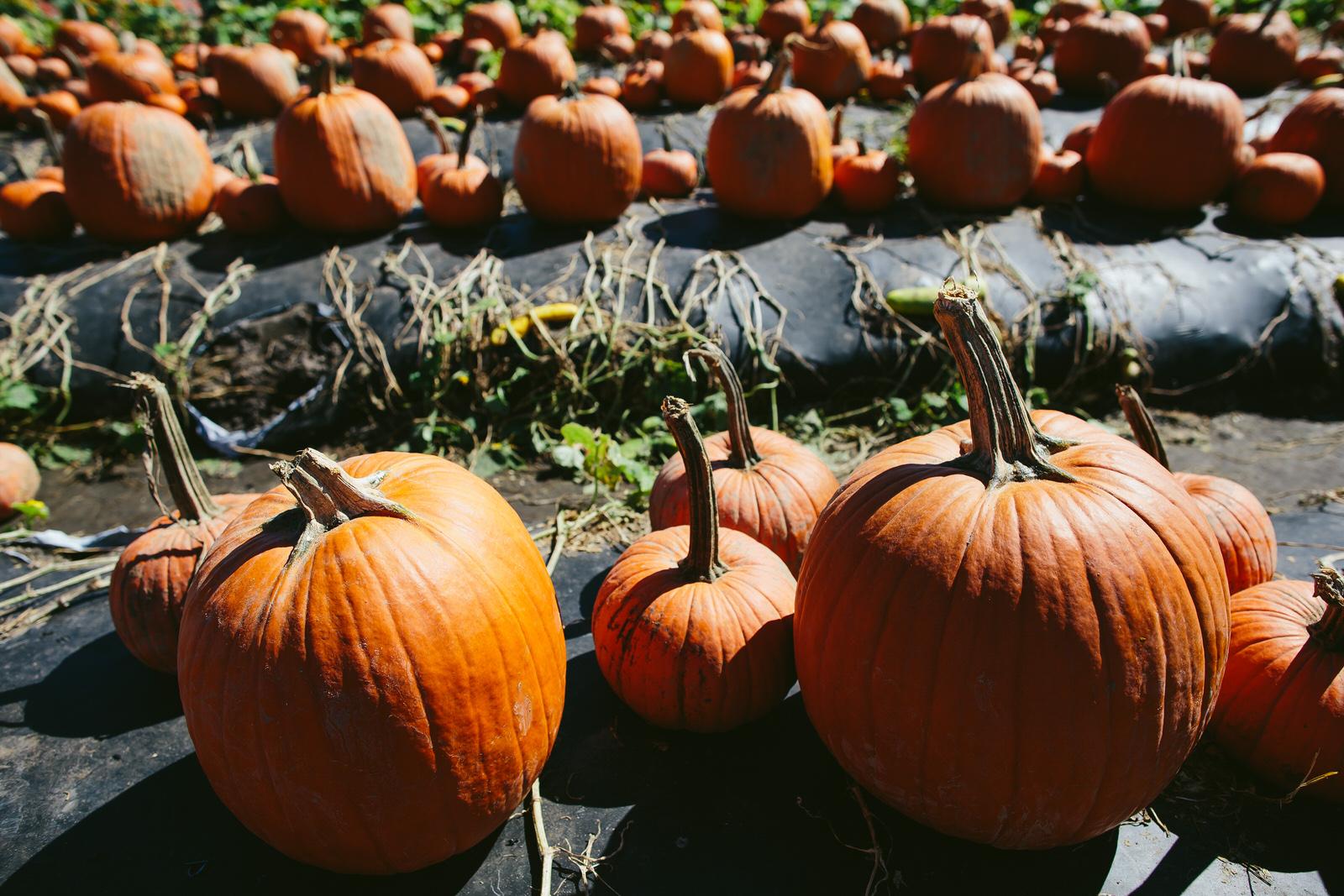 bedners pumpkin patch florida