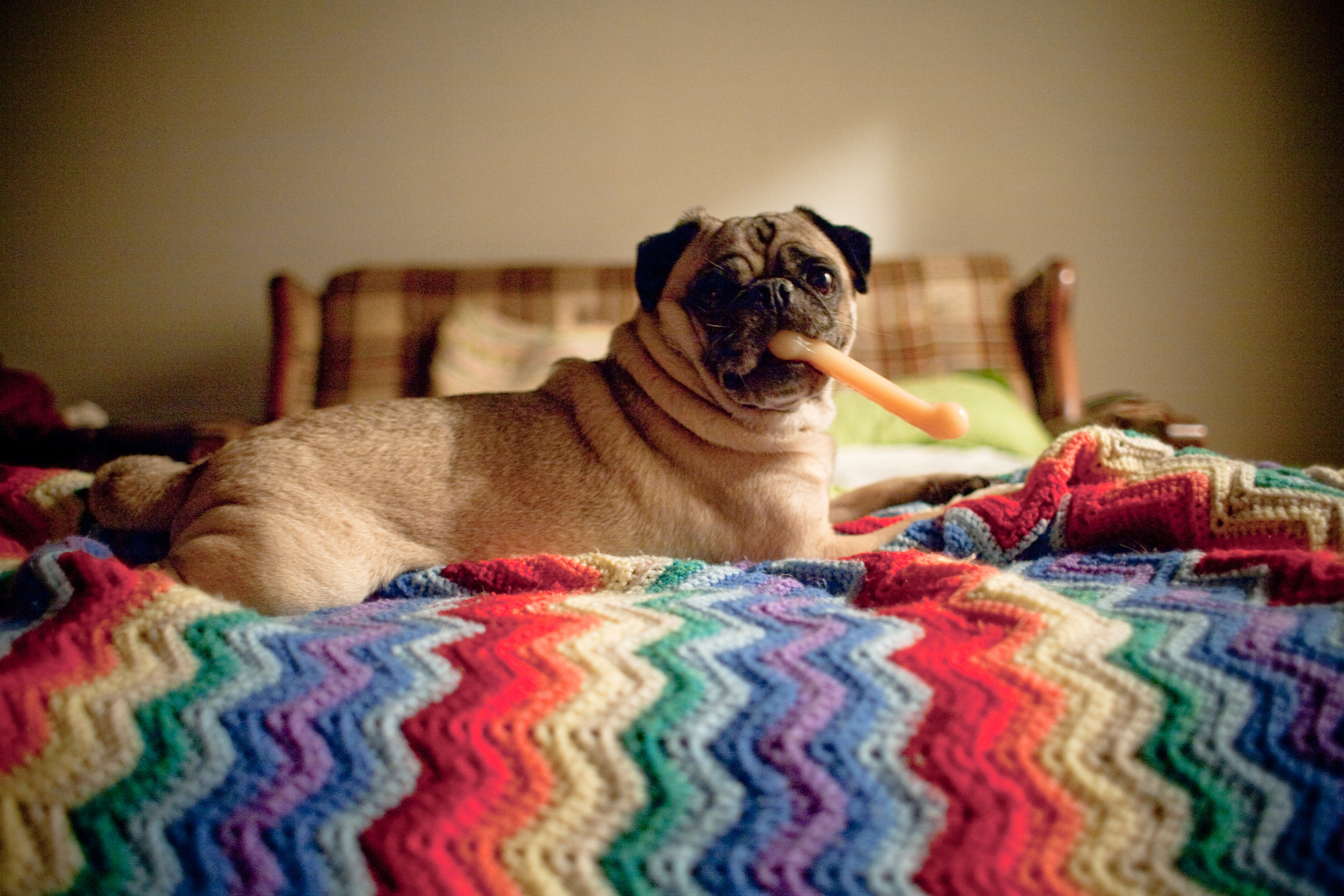 pug_on_rainbow_blanket_holding_bone_in_mouth_funny_photo