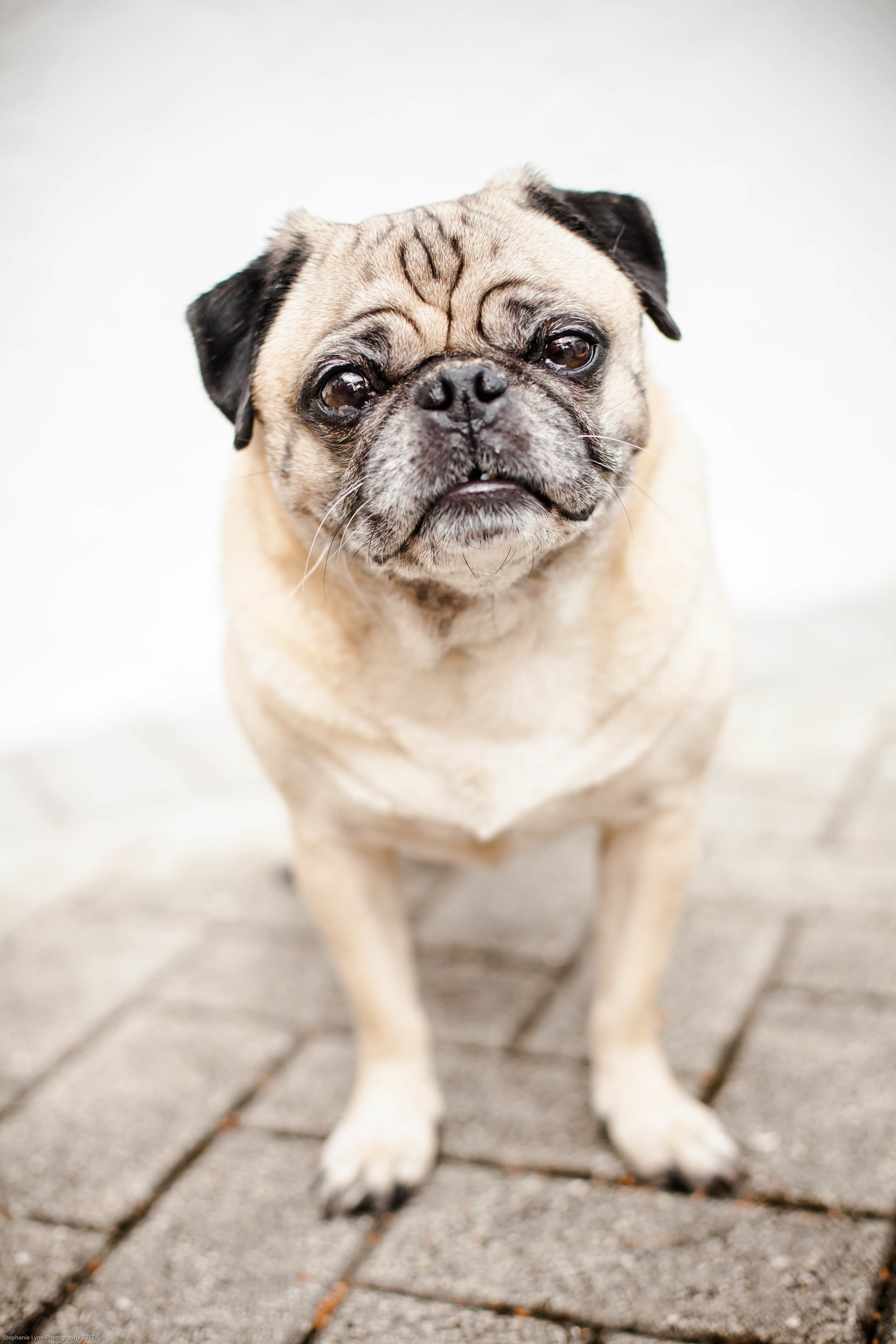 handsome male pug modeling for the camera