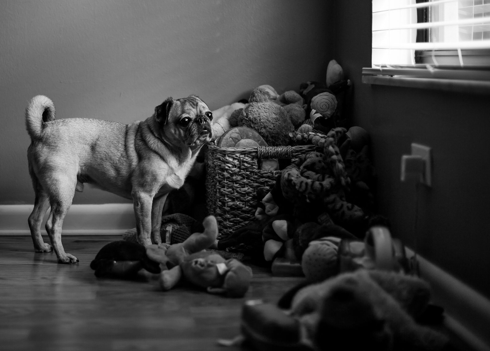 pug_with_toys_black_and_white.jpg