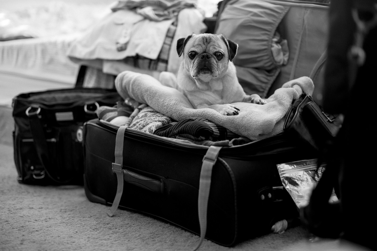 pug_in_my_suitcase_black_and_white.jpg