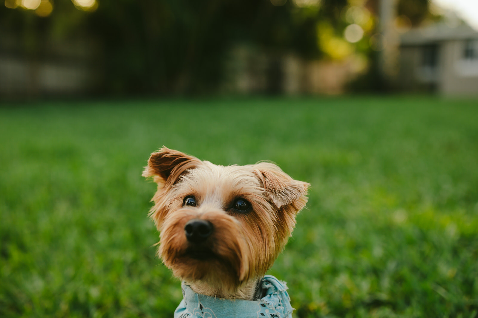 fort lauderdale pet photographer dog yorkie