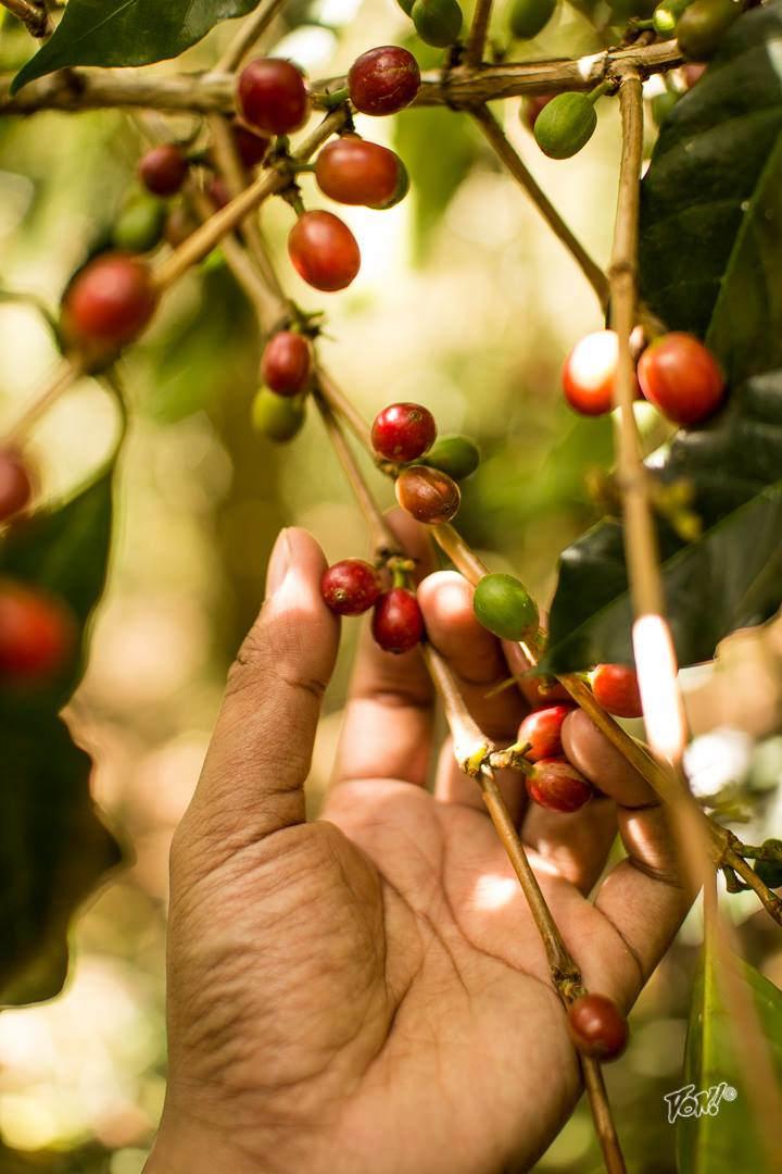 coffee cherries - von photo.jpg