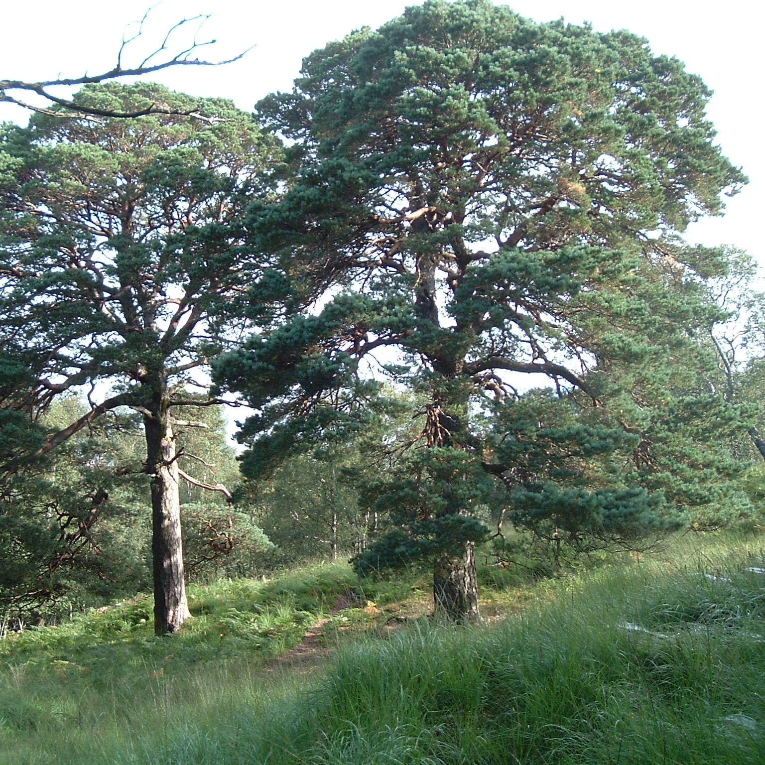 Scots Pine - The native caledonian pine, this seed collected from the ancient trees of Blackmount, Tyndrum.